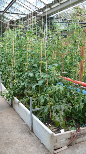 Tomato plants in the greenhouse